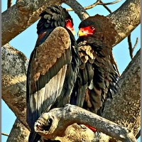 South African Birds