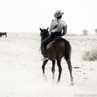 Nguni cattle and African Cowboys