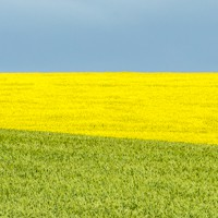 The Canola Bloom