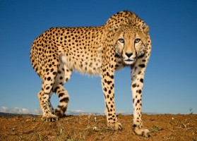 Cheetah on blue