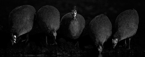 Drinking guineafowl