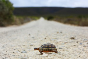 Tortoise Walking in the Road
