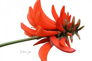 Erythrina on White 601