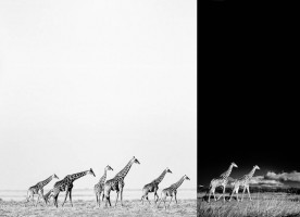 Giraffe black and white