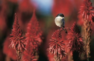 Shrike on Red Aloes
