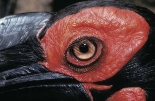 Ground Hornbill eye