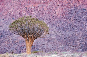 Richtersveld Quivertree