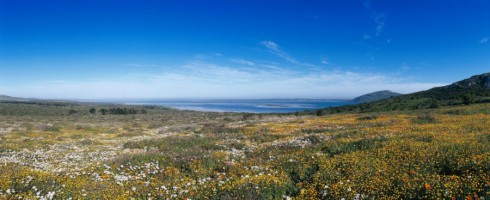 Vibrant color following winter rains near Langebaan, about 120km north of Cape Town.