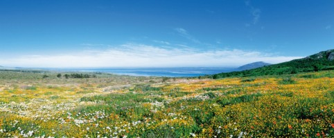 Namaqua daisies and other wildflowers near Langebaan along South Africa's west coast, about 120km no