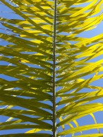 Palm Tree Frond