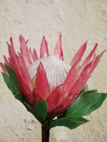 King Protea Crown - Flower Art Print