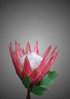King Protea Dreamy - Flower Print