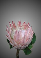 Protea Ice-cream Flower Portrait Print