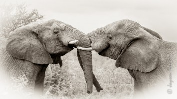 Elephant Greeting
