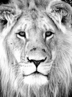 lion face portrait black and white