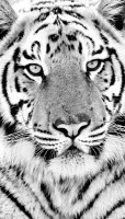 tiger face black and white