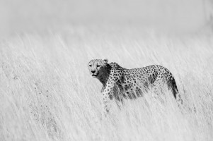 On the move cheetah
