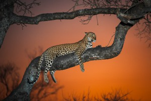 Sunset Leopardess